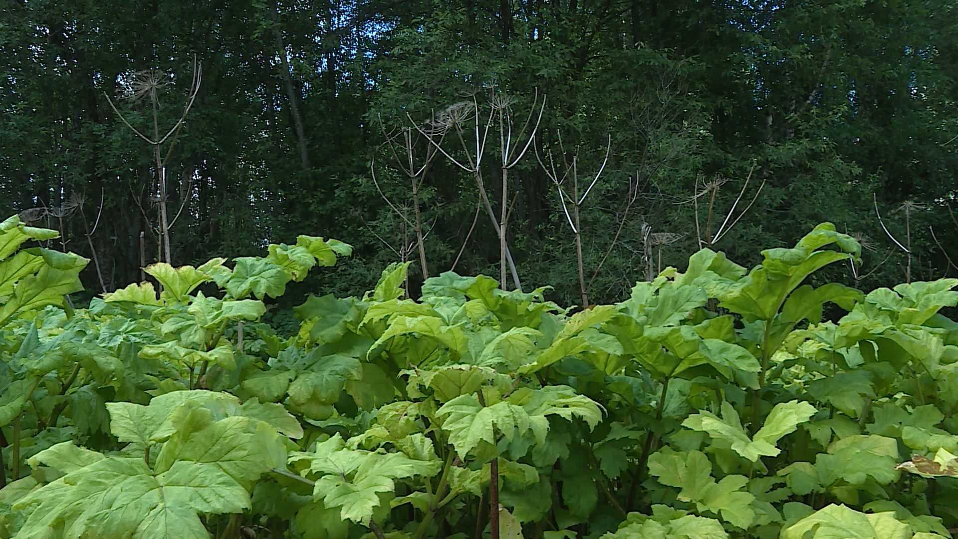 Больше тысячи гектаров костромских земель обработают от борщевика