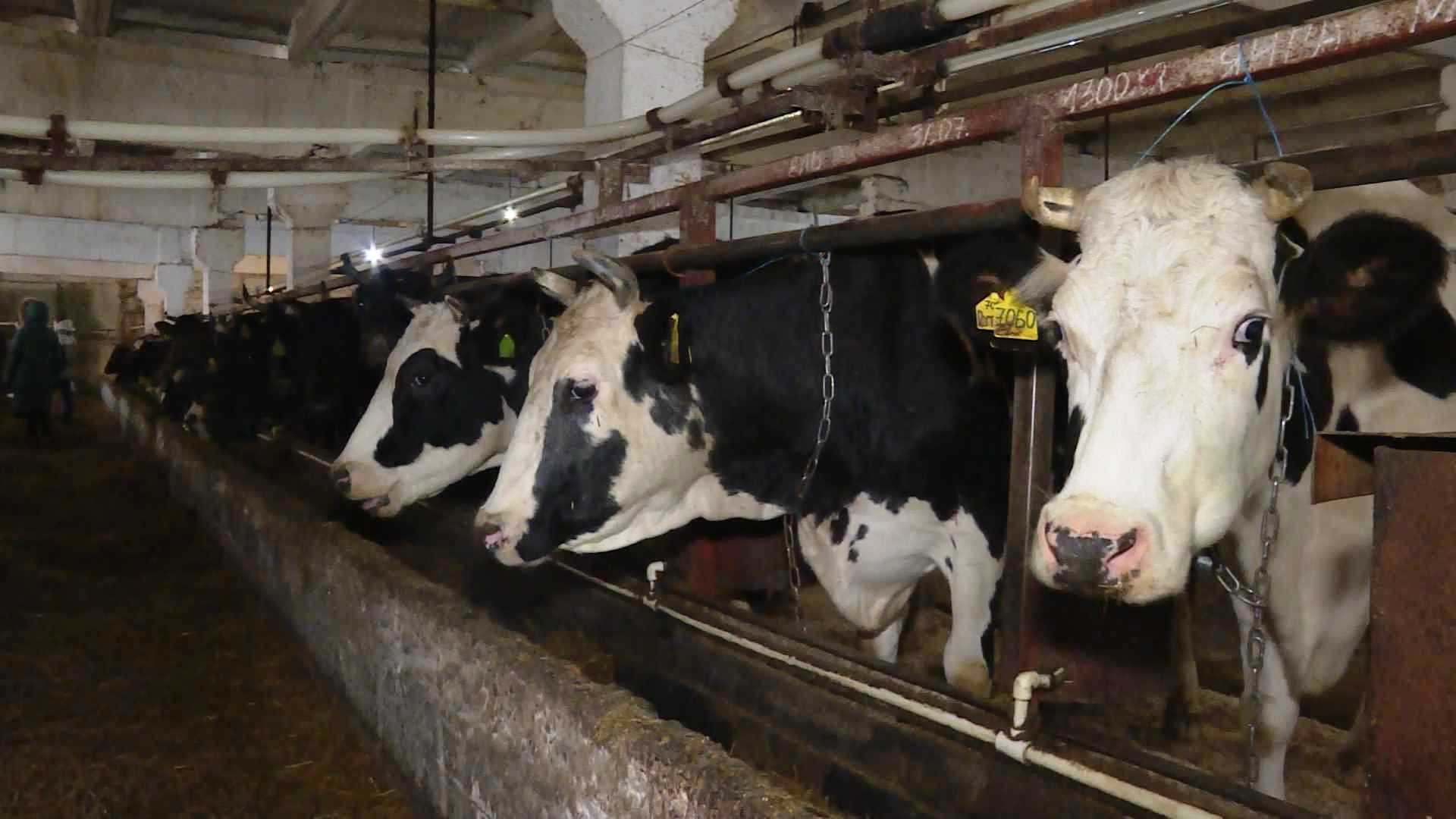 Коровы Судиславского района вышли на рекордные надои