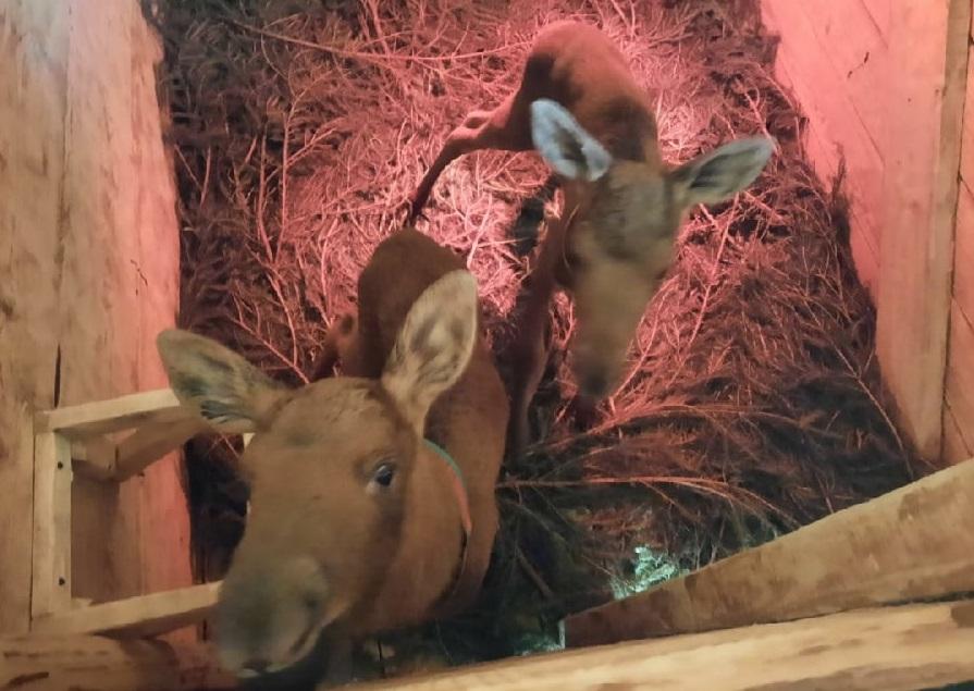 На костромской лосеферме родились первые лосята 2021 года