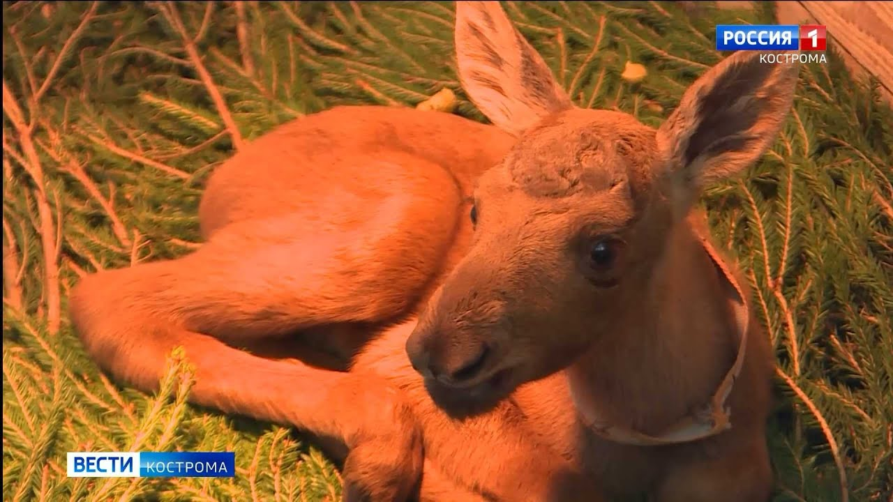 На костромской Сумароковской лосеферме родились шесть лосят за неделю