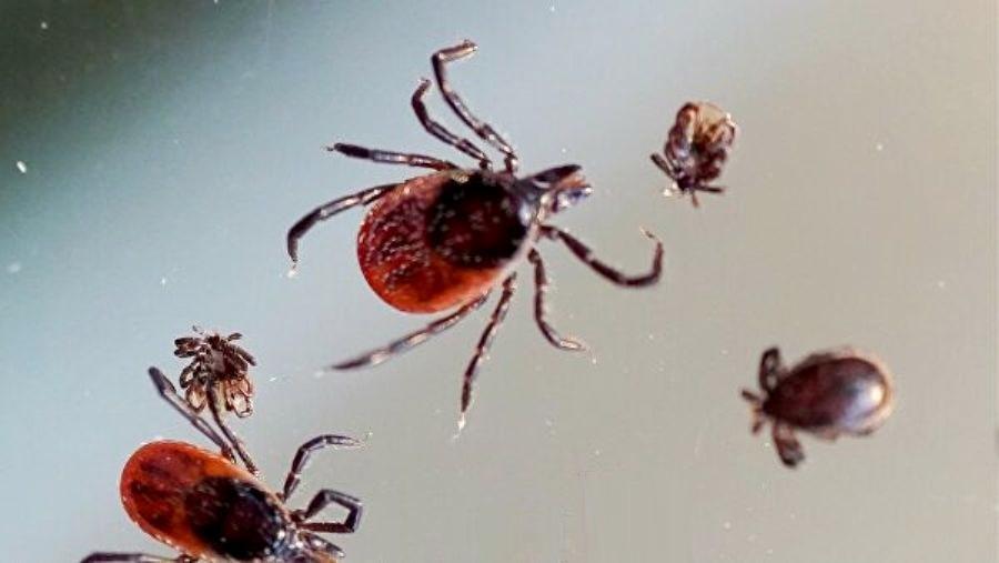 Пятеро костромичей за неделю заразились боррелиозом после укусов клещей