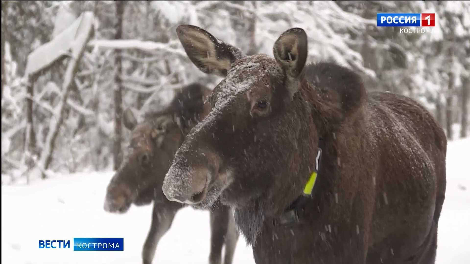 Жители костромской лосиной фермы переехали на зимние квартиры