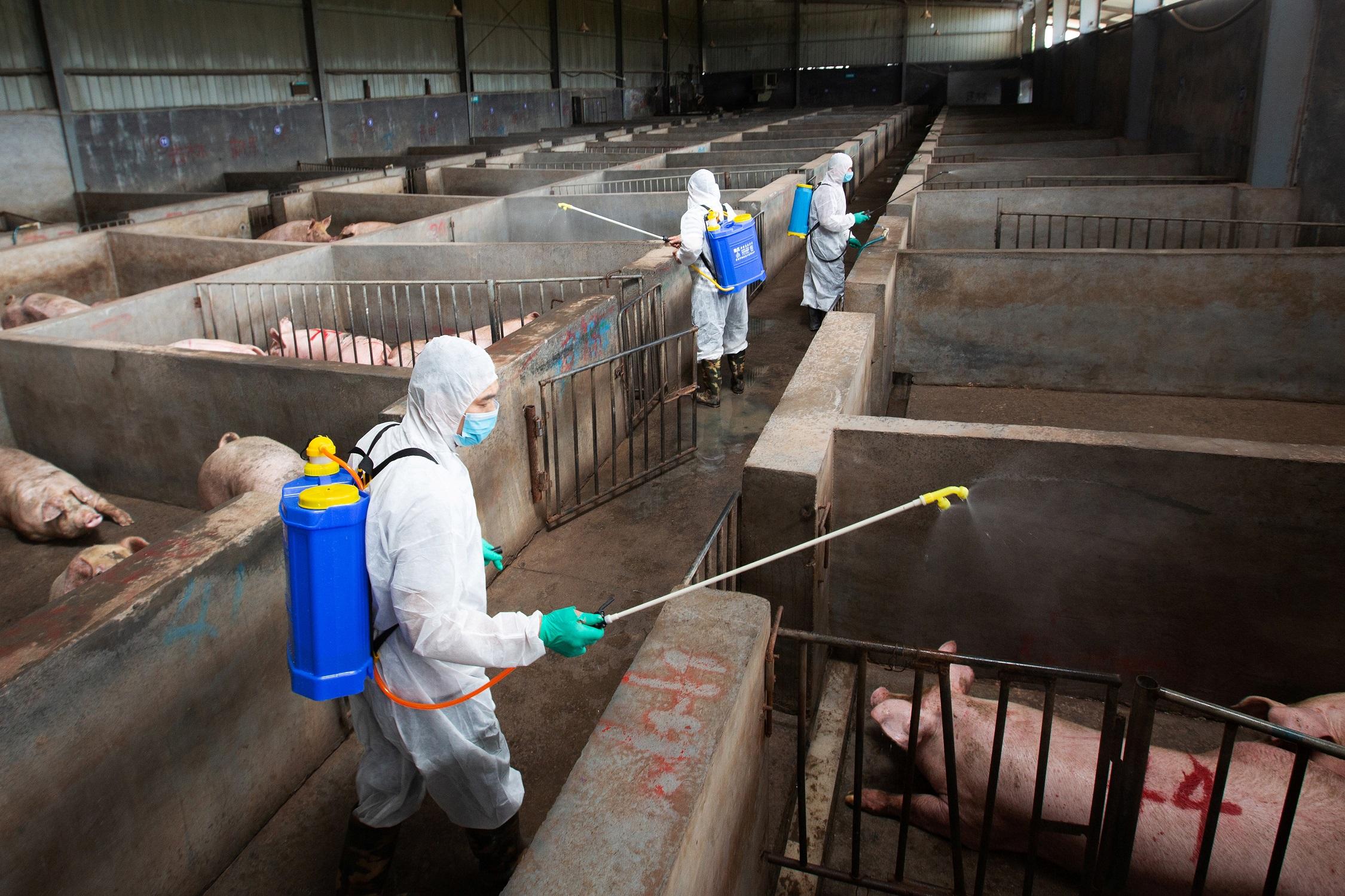 Костромским свиноводам советуют опасаться африканской чумы