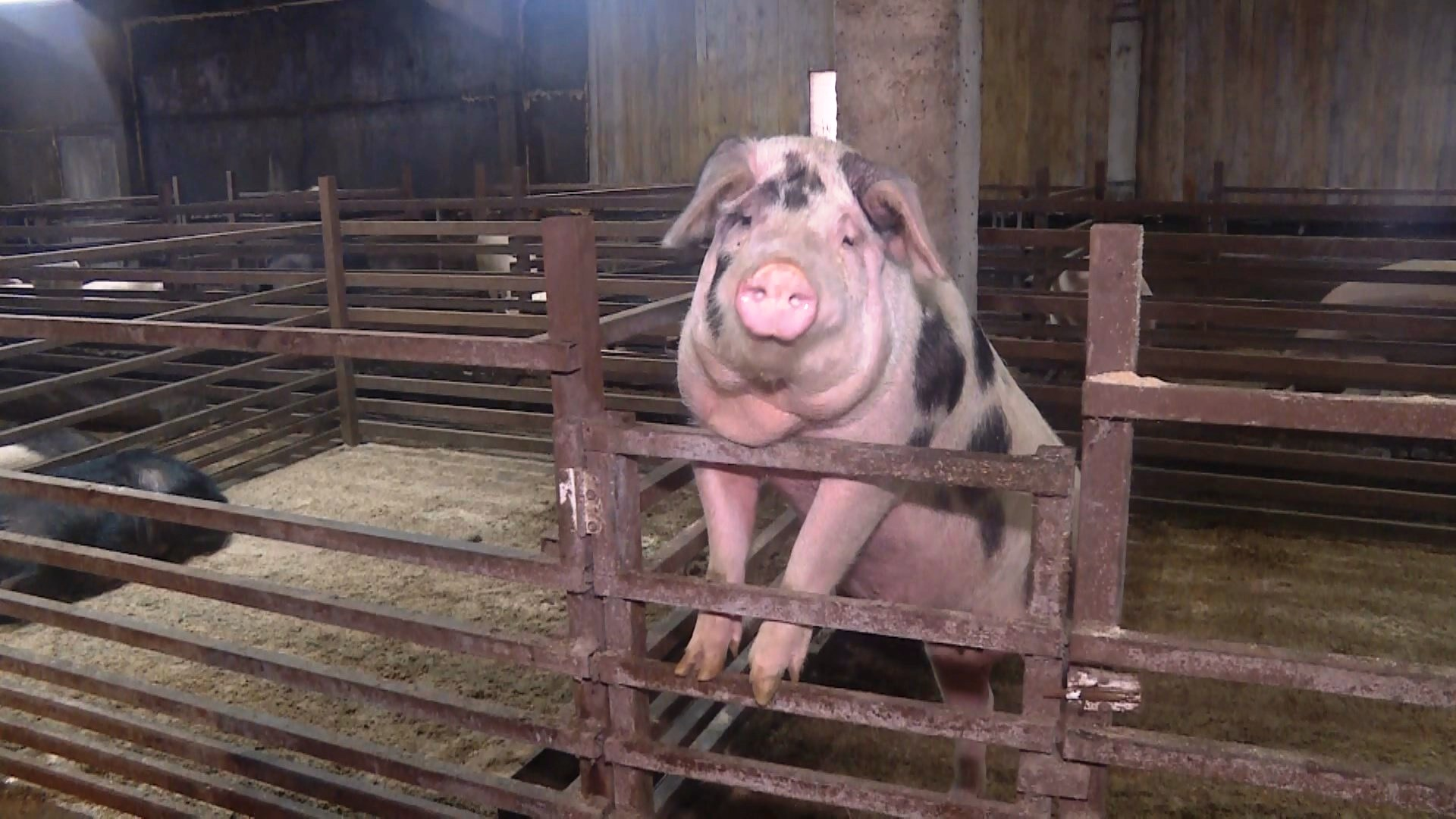В Буйском районе введён карантин по африканской чуме свиней