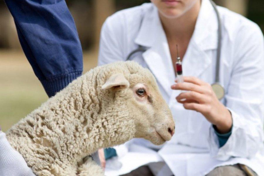 На западе Костромской области установлены ограничения из-за оспы овец