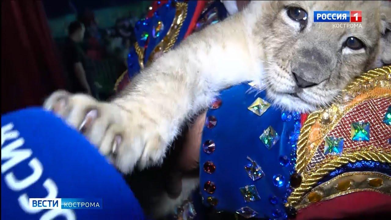 В передвижном цирке в Костроме родилась львица