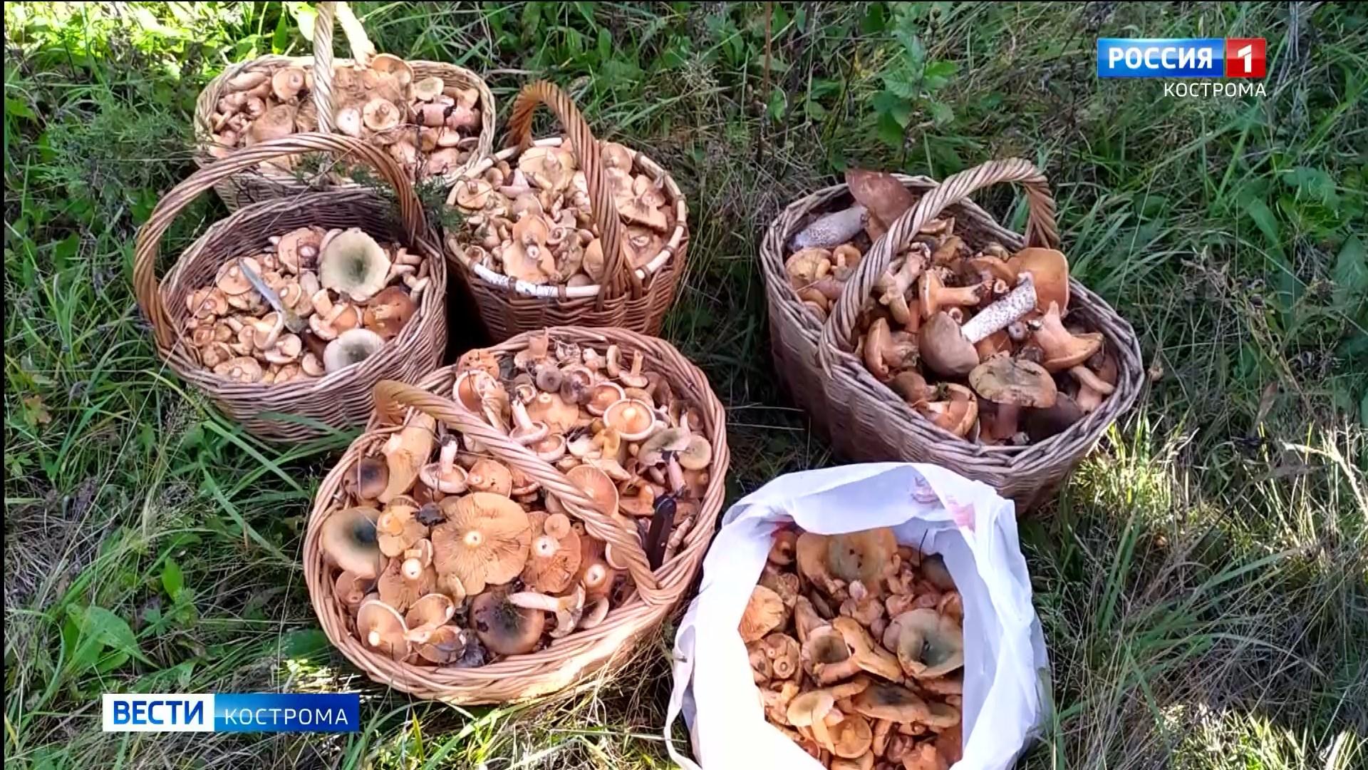 Небывалый урожай рыжиков собирают грибники под Костромой