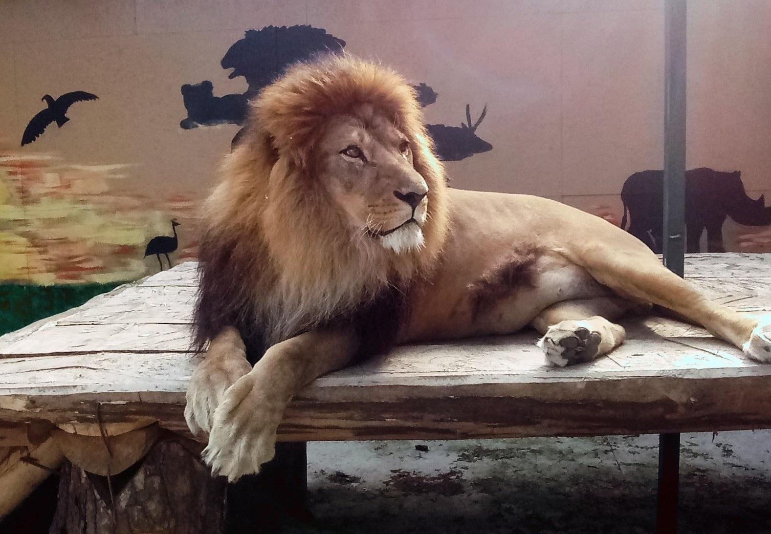 В «квартире» костромского льва сменили интерьер
