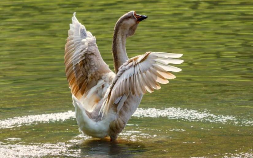 «День гуся» в костромском райцентре отметят как положено