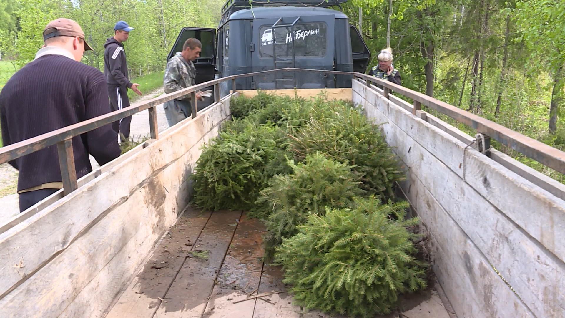 Костромской лес засаживают ярославскими ёлками