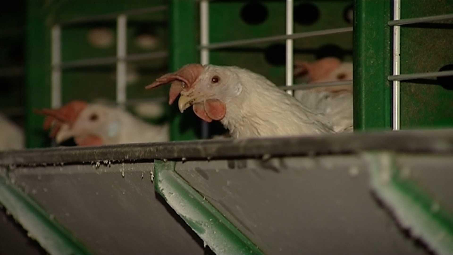 Буйская птицефабрика возобновит работу после птичьего гриппа
