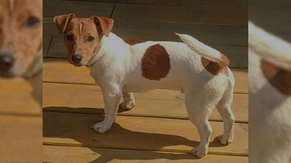 В Костроме объявлена награда за пропавшую собаку