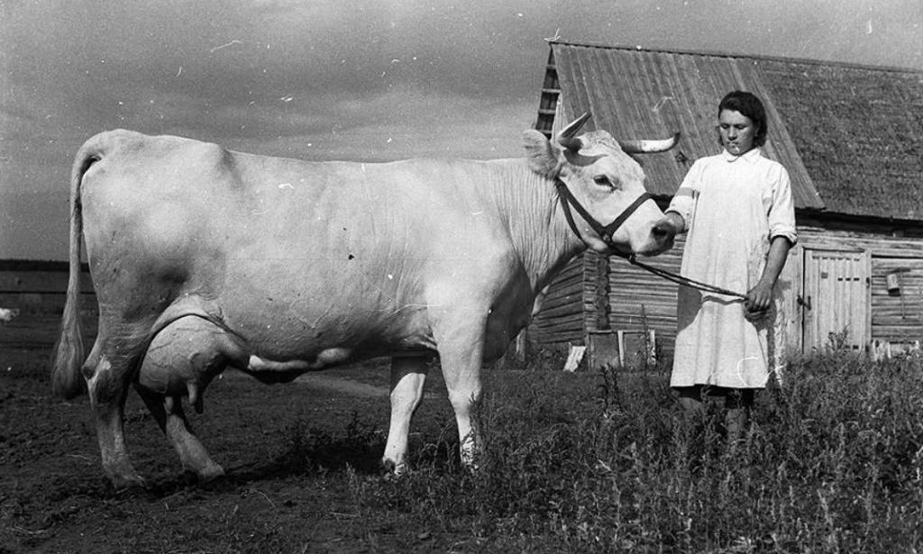 Корова костромская.jpg